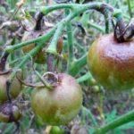 Поражение плодов томатов