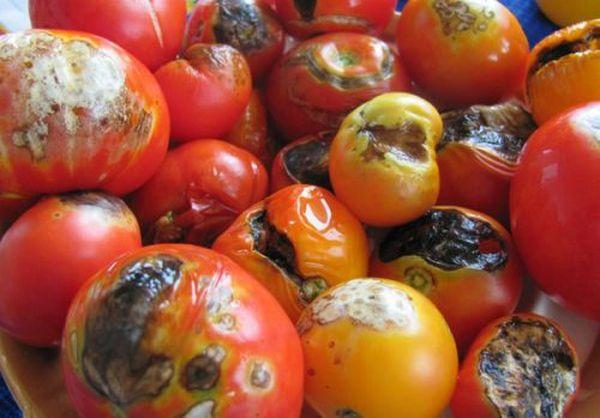 Если закатать в банки пораженные помидоры - они могут испортиться