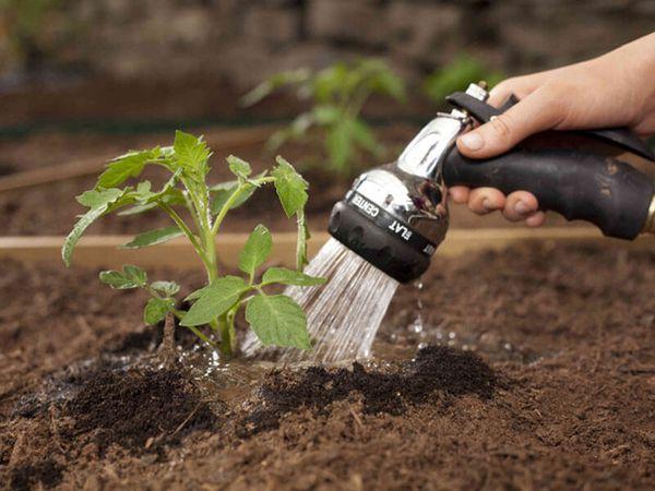 Для предотвращения появления фитофторы томат необходимо поливать только под корень