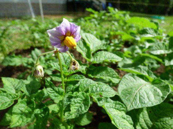 Цветки картофеля Манифест