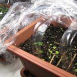 После проращивают в грунте