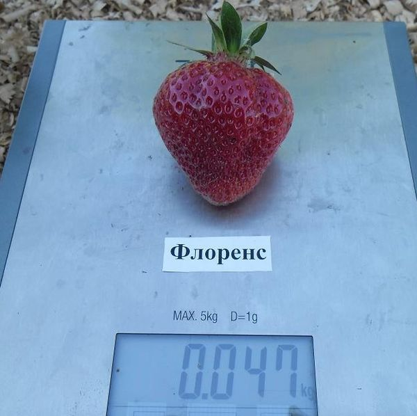 Средний вес плодов составляет 35-60 грамм