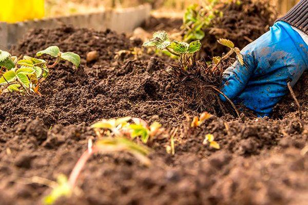 При условии своевременного удобрения выращивание возможно и на глинистых почвах