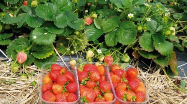 Сбор ягод клубники зефир