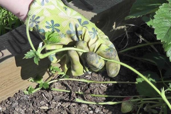 Уход заключается в удалении засохших частей куста, рыхлении и удобрении почвы, своевременном дозированном поливе