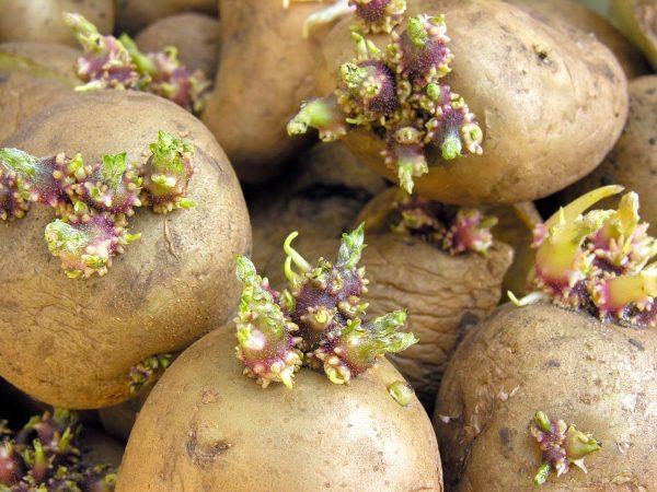 Для получения хорошего урожая следует выбирать сортовые клубни, вес которых не менее 35 и не более 85 г