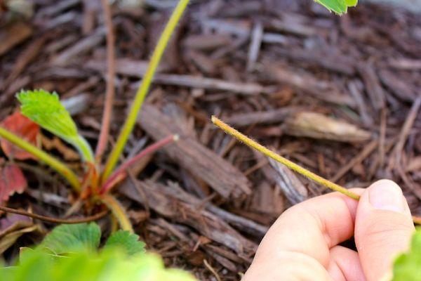 Осенью после удаления листьев клубники нужно обработать почву Ленацилом