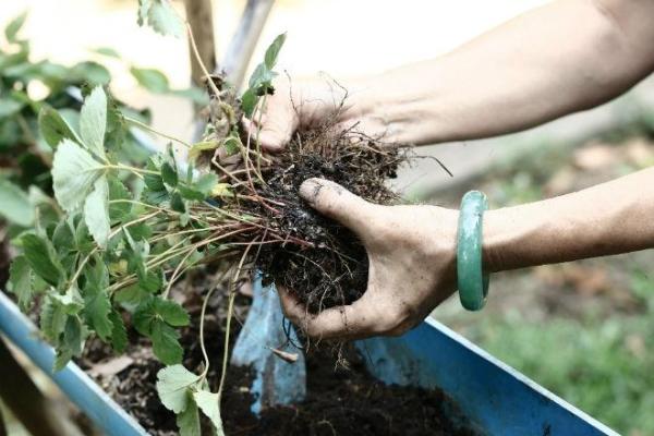 Деление куста проводят в начале весны или после сбора урожая