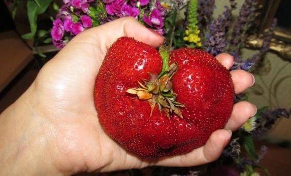 Вес ягод гигантелы может достигать 100 грамм