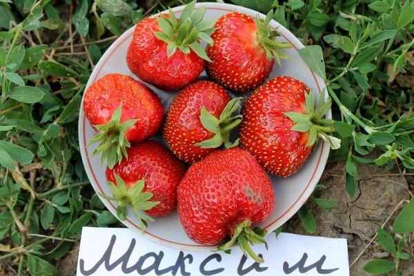 К достоинствам сорта относят правильную форму ягод