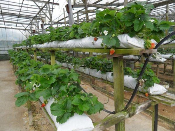 Выращивание по голландской технологии