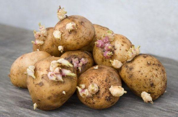 За месяц до посадки картофелины проращивают