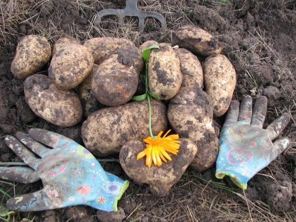 Уборку урожая начинают во второй половине августа