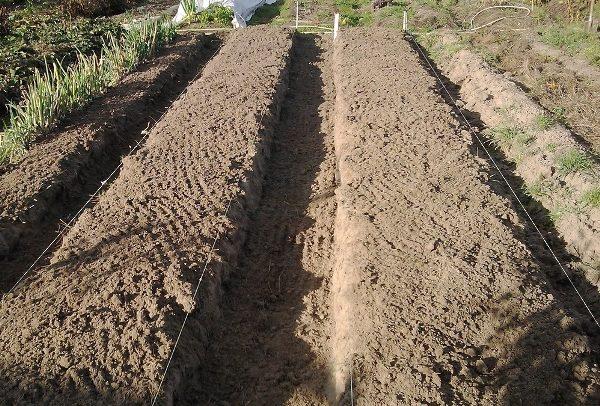 Грядки для посадки картофеля Коломбо