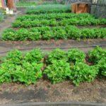 А можно высаживать в грунт, но придется удалять сорняки чаще