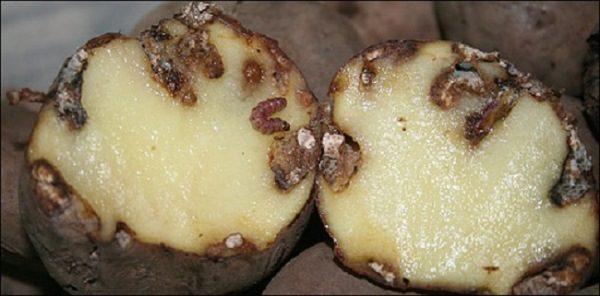 Клубни картофеля Манифест поражены гусеницами картофельной моли