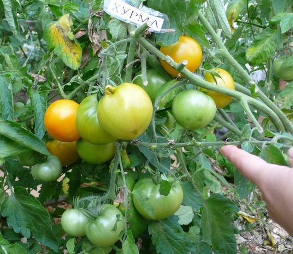 Первые плоды можно собирать в начале июля