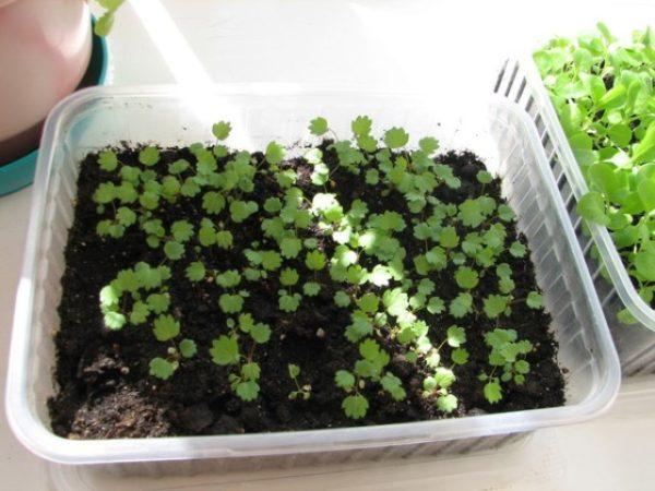 Ростки клубники выросшие из семян