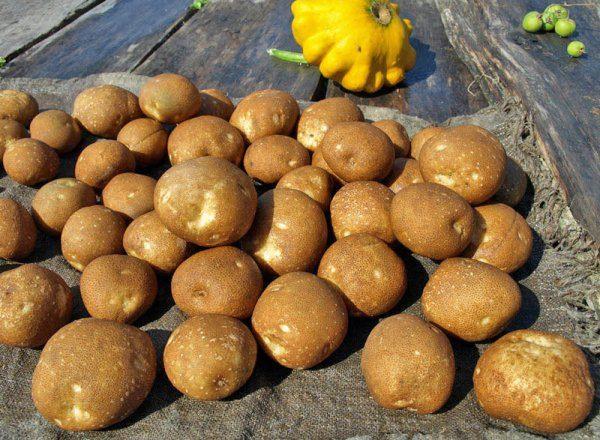 Сорт Киви является одним из лучших сортов картофеля по показателю урожайности