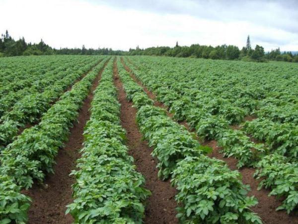 Зеленые кусты картофеля Любава на поле