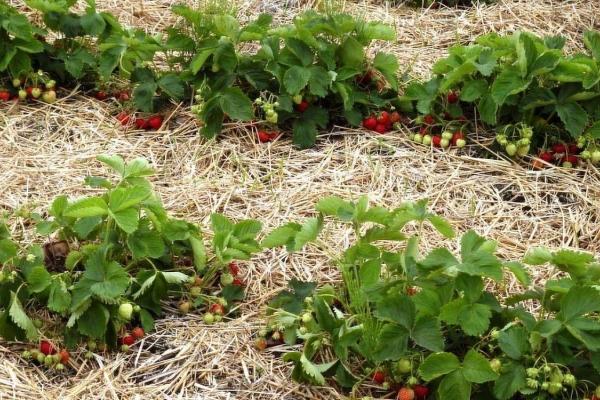 Мульчировать грядки можно с помощью хвои, соломы, скошенной травы