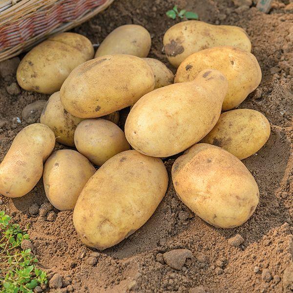 Картофель сорта Джелли