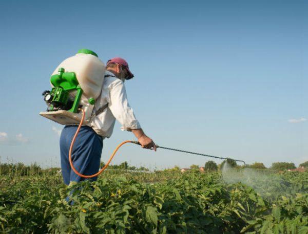 Чтобы гарантированно получить хороший урожай, необходимо защитить посадки картофеля Голубизна от болезней и вредителей