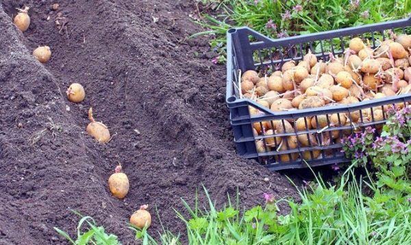 Посадка картофеля Аврора в открытый грунт