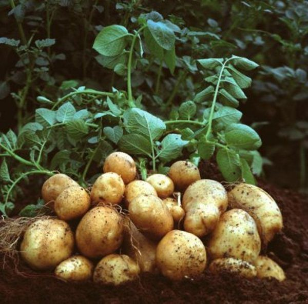 Картофель Тулеевский является очень урожайным сортом