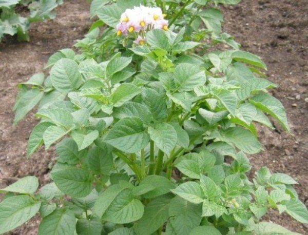 Куст картофеля Импала в период цветения