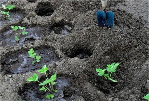 Посадка саженцев клубники производится в лунку диаметром 15-20см