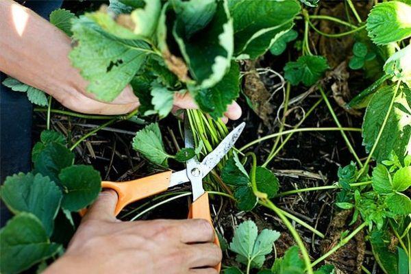 После окончания сбора урожая старые листья необходимо удалить