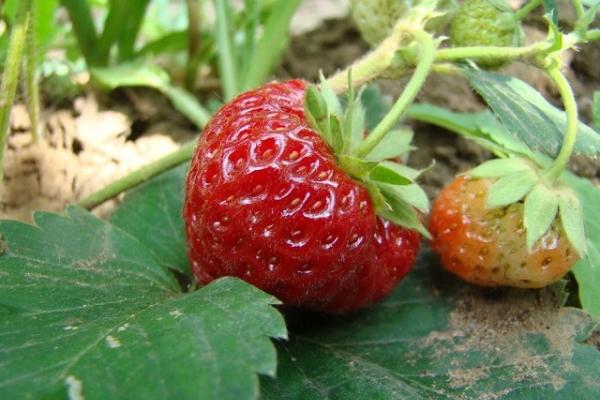 Плодоношение наступает поздно, длится до октября-ноября, урожайность хорошая