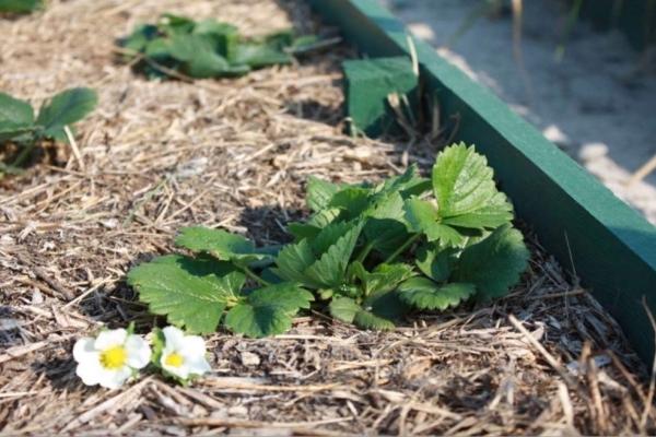 Почва мульчируется для улучшения ее свойств и защиты растения от сорняков