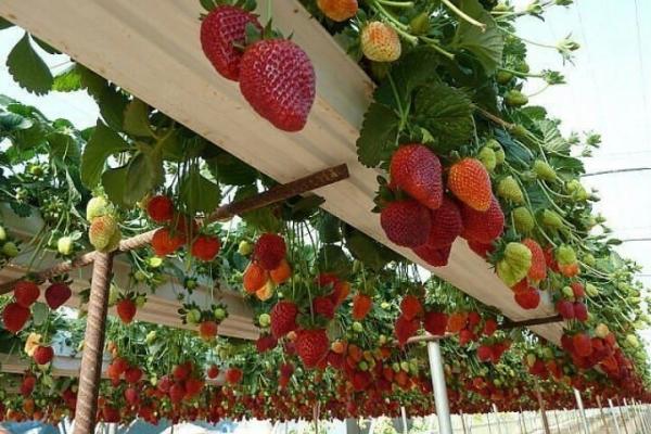 Выращивание клубники по голландской технологии: суть метода, пошаговое выполнение