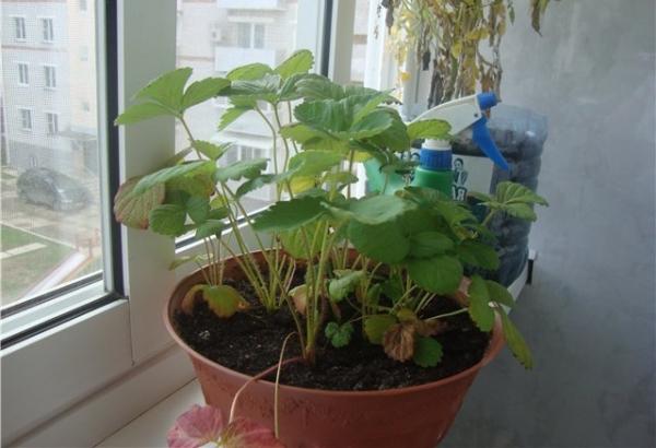 Зимой ягода практически не поливается, емкости можно утеплить опилками или хвоей