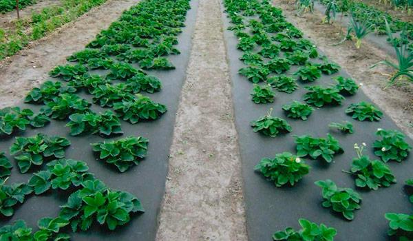 Правильно посадить рассаду перцев 57