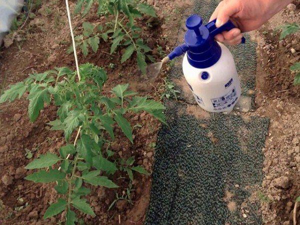 Подкормку кустов томата при выращивании в теплицах проводят в два этапа