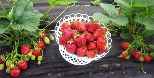 На юге страны клубнику Корона можно выращивать и в открытом грунте, а в более северных регионах сорт рекомендуется для тепличного культивирования
