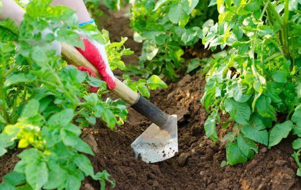 Окучивание картошки необходимо для повышения урожайности и защиты клубней от неблагоприятных погодных условий