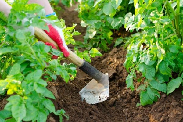 Картофель Санте нуждается в рыхлении почвы, поливе 3 раза за сезон, подкормках