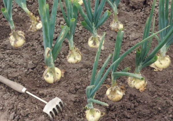 Необходимость прополки и рыхления почвы в том, что в процессе этого к корням поступает большее количество кислорода