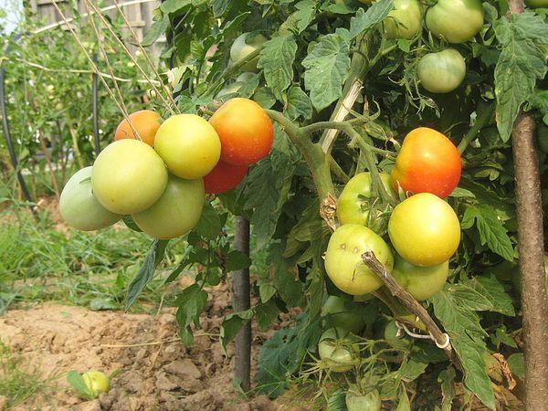 Куст томата Ляна является низкорослым, поэтому рекомендуется высадка на больших территориях