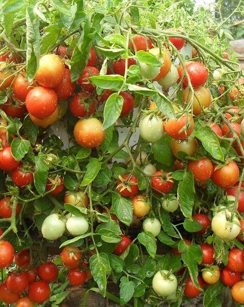 Сорт Ляна отличается большой отдачей урожая