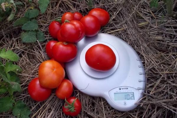 Раннеспелый и низкорослый сорт, высокоурожайный, хорошо транспортируется