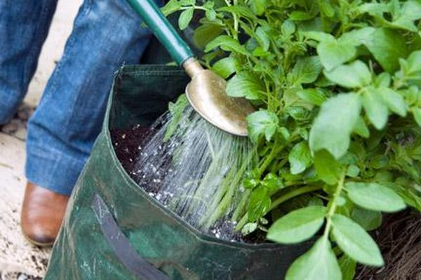 Для выращивания картофеля в мешках необходим обильный полив