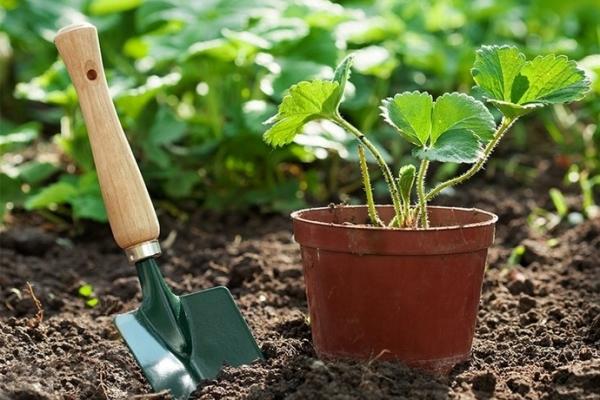 Для весенней посадки рассаду следует приобретать в начале марта, а для осенней – в конце августа