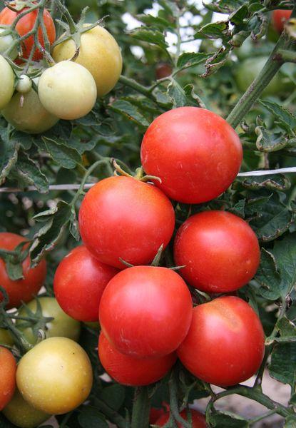 Недозревшие томаты окрашиваются в белый цвет