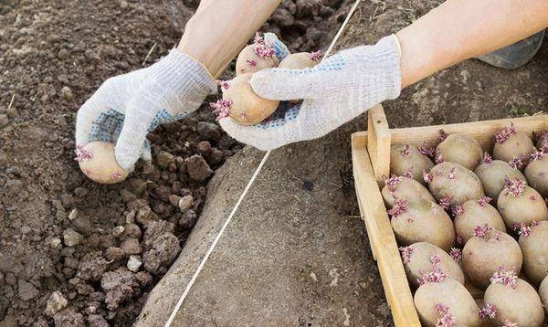 Когда сажать картофель по народным приметам