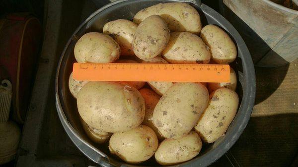 Невский дает отличный урожай при соблюдении условий выращивания